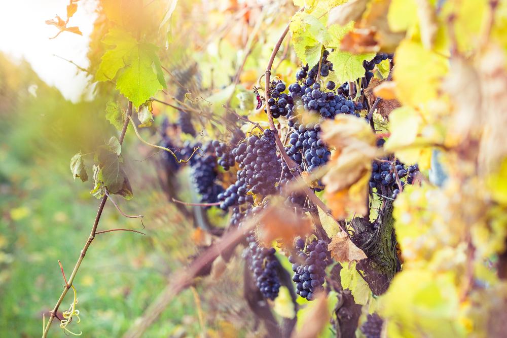Historia winiarstwa w Polsce. Gdzie znajdują się winiarnie?
